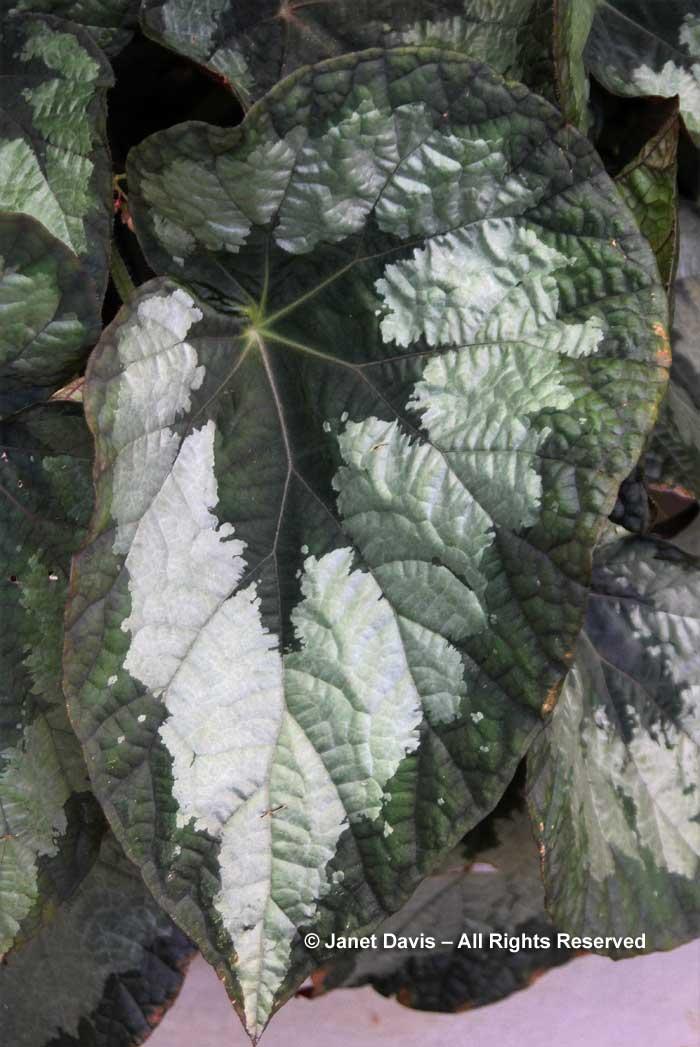 begonia-escargot