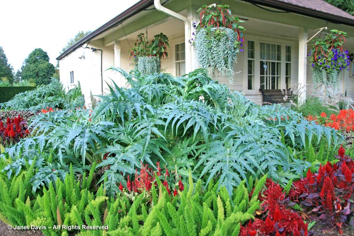 cynara-cardunculus-dichondra-argentea-niagara-botanical-garden