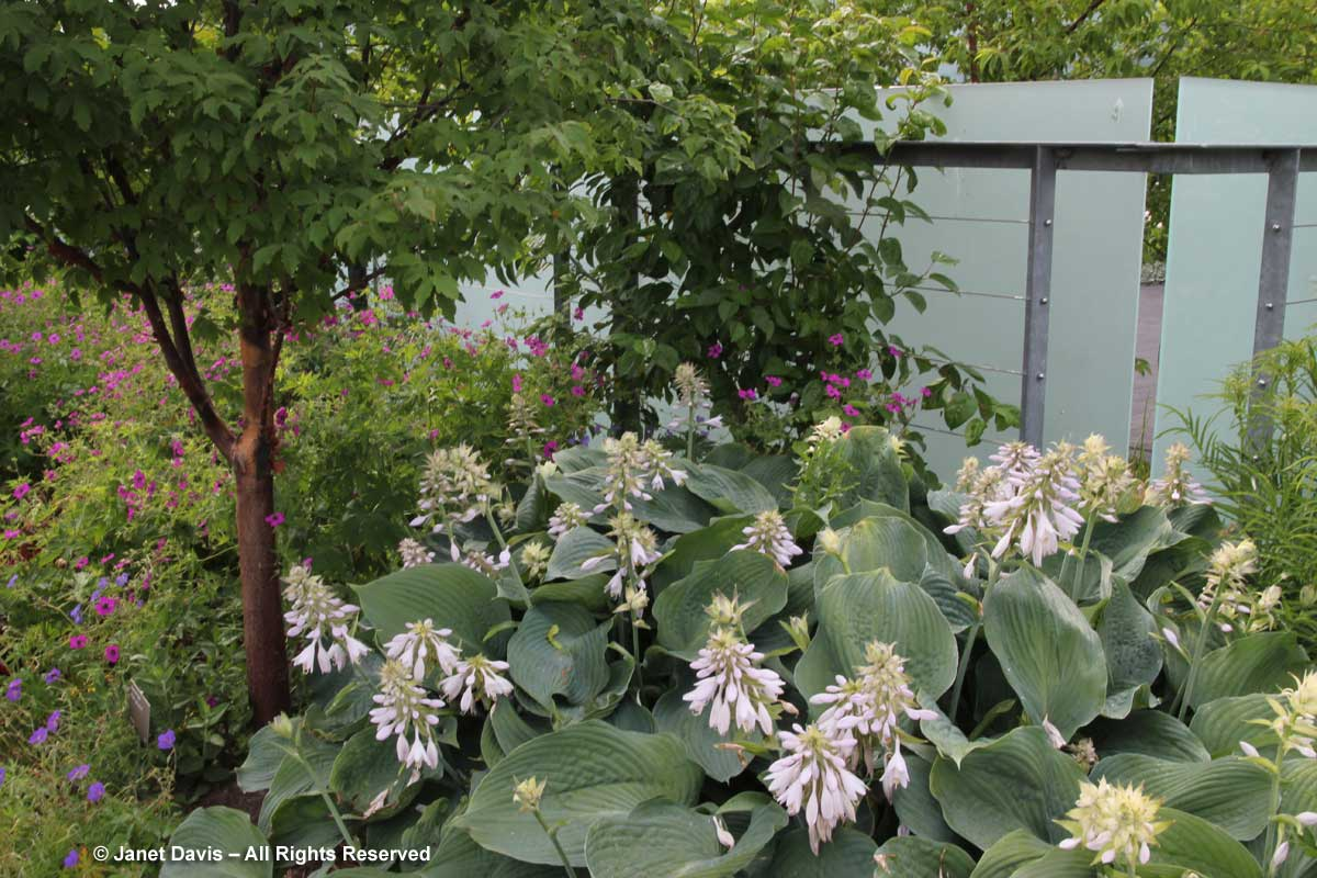 hosta-blue-angel-toronto-botanical-garden