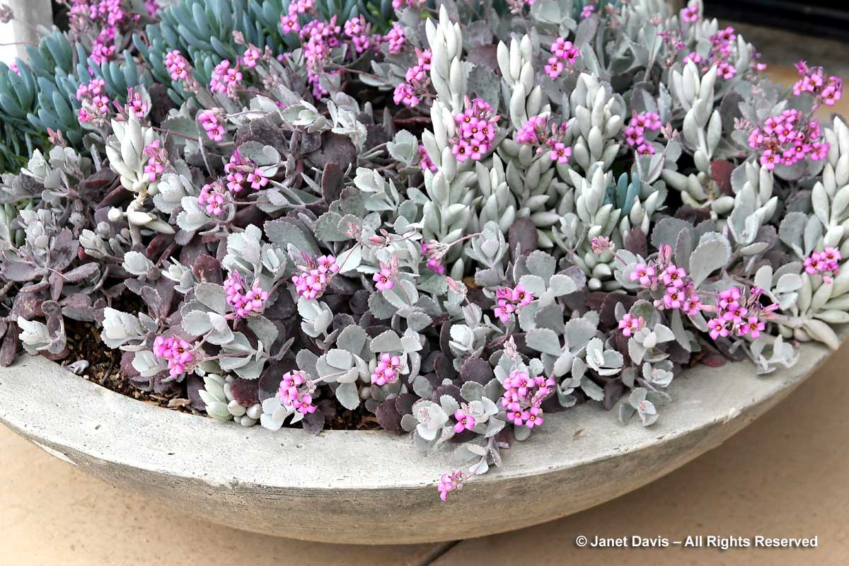 kalanchoe-pumila-quicksilver-senecio-serpens-eye-of-the-day