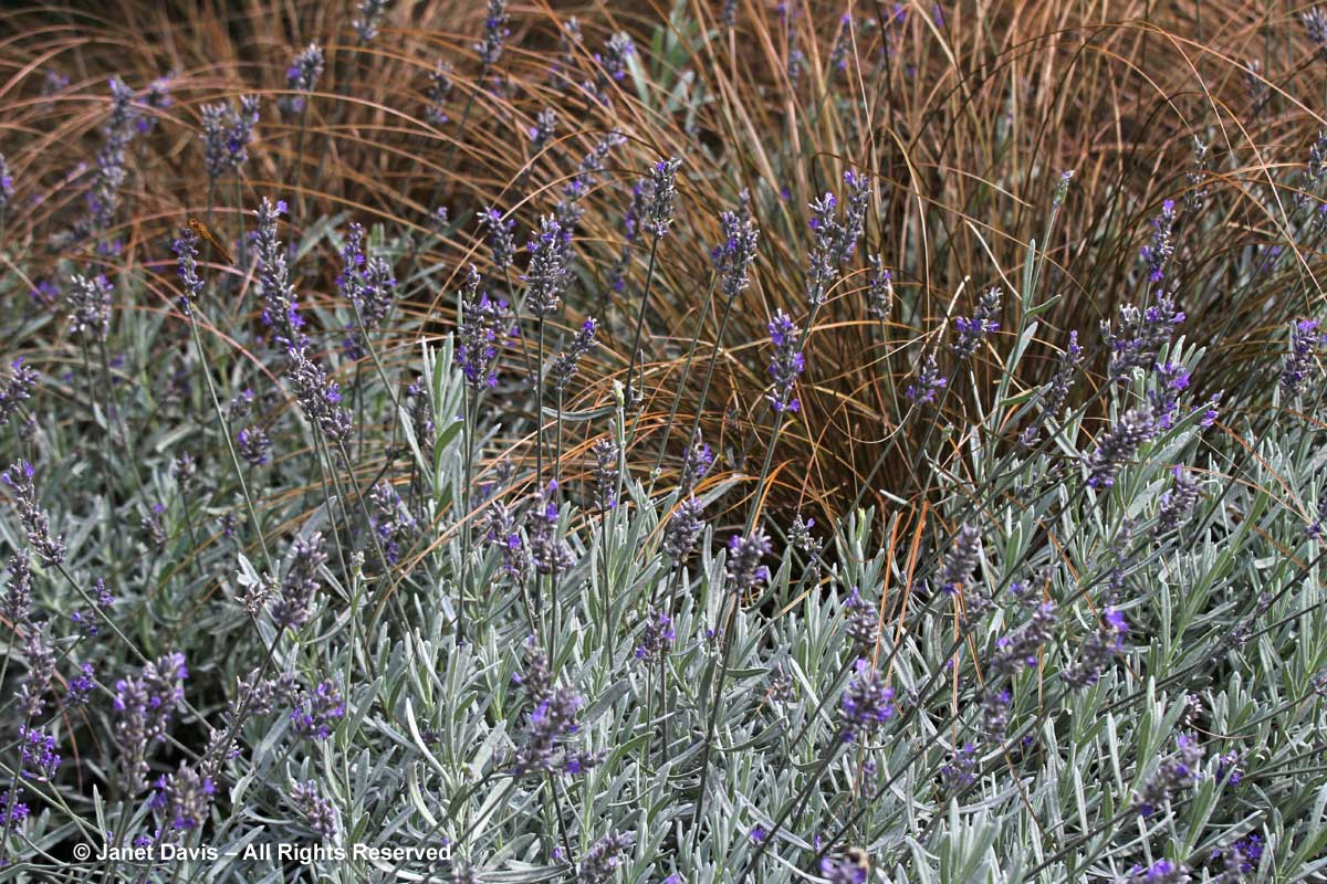 lavandula-angustifolia-silver-mist