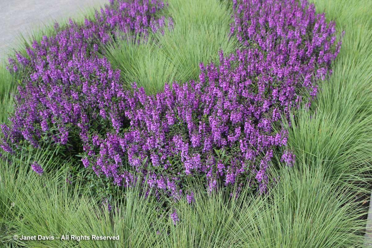 melinis-nerviglumis-savannah-angelonia-serena-purple-montreal-botanical