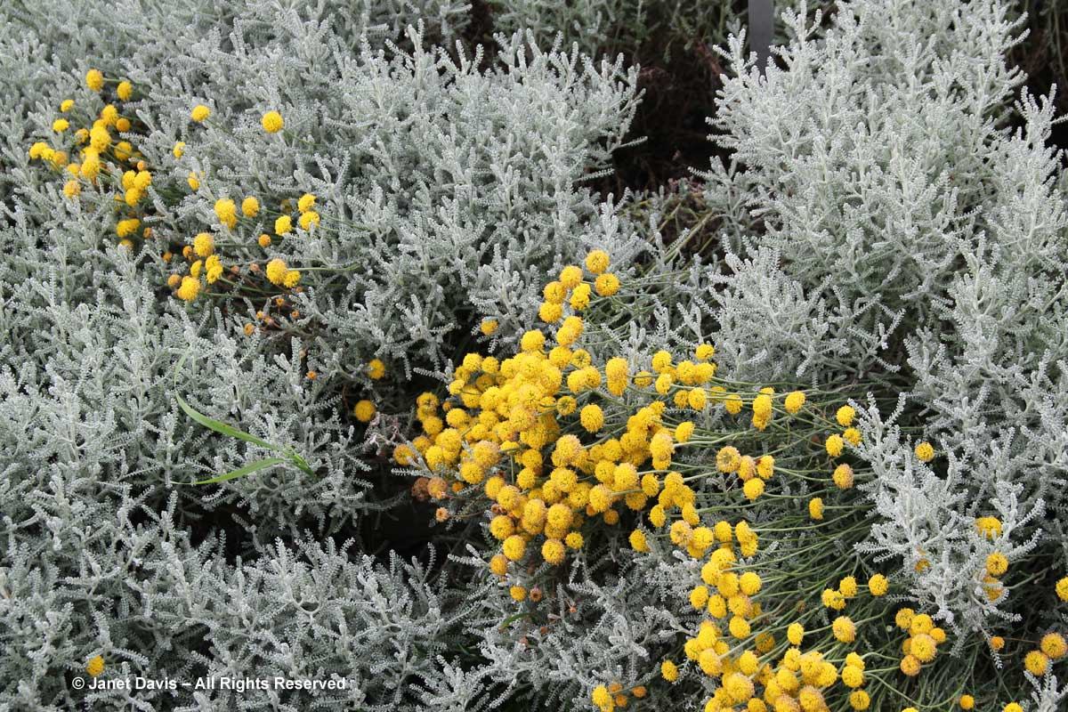 santolina-chamaecyparissus-lavender-cotton
