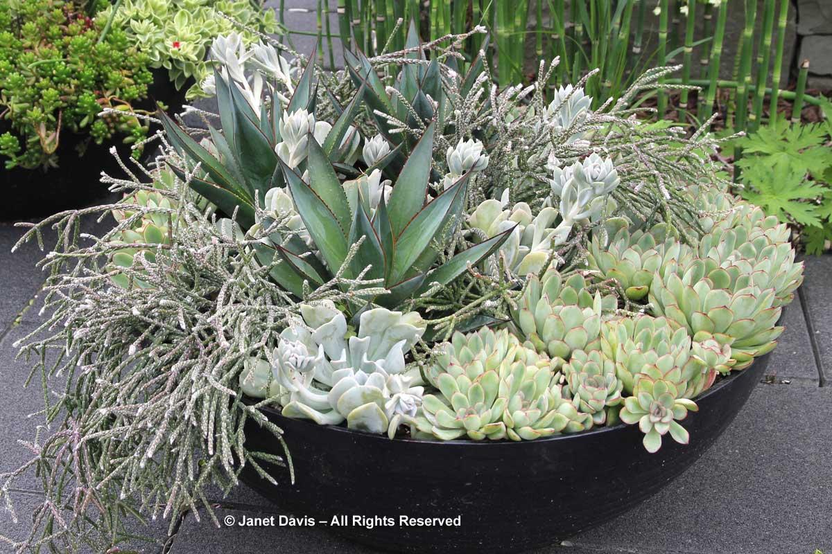 silver-succulents-toronto-botanical-garden