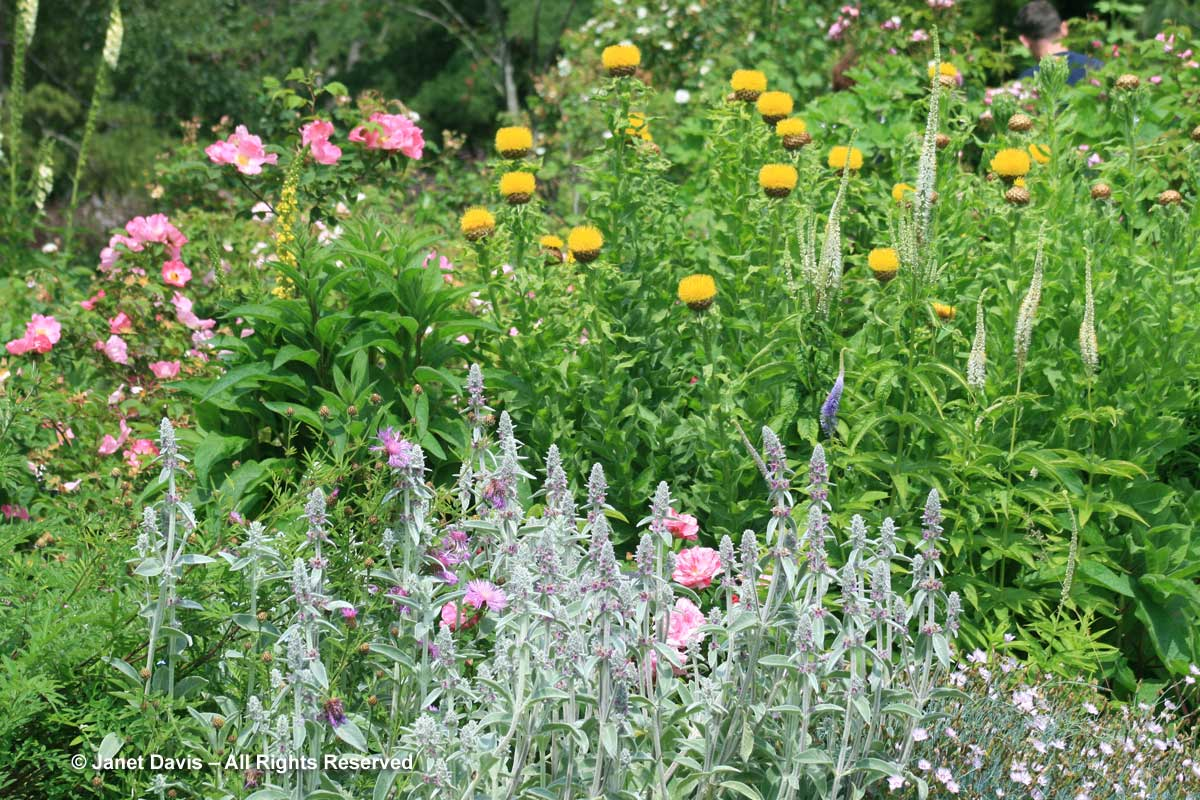 stachys-byzantina-van-dusen-botanical-garden
