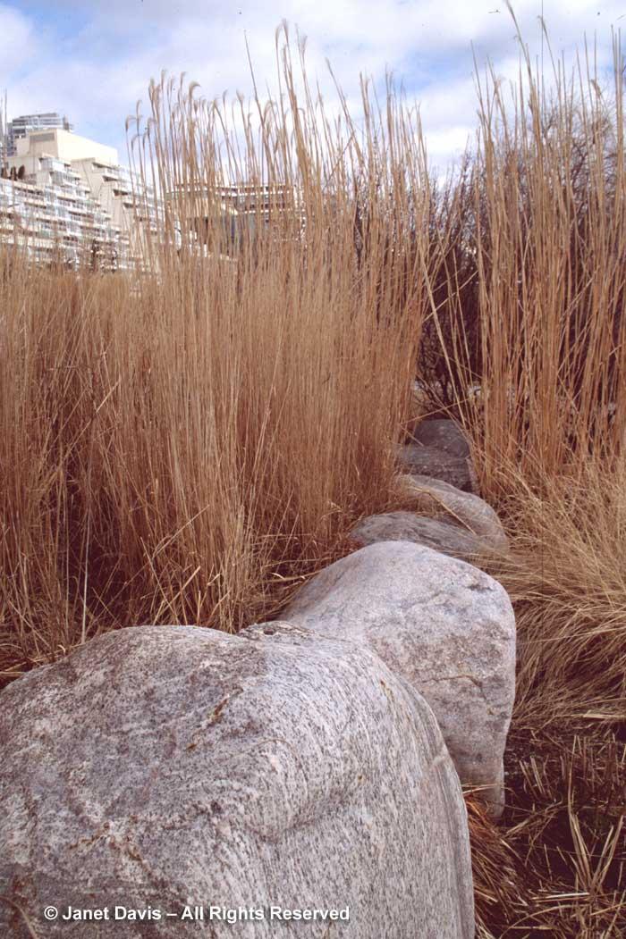 calamagrostis-karl-foerster-music-garden-winter2