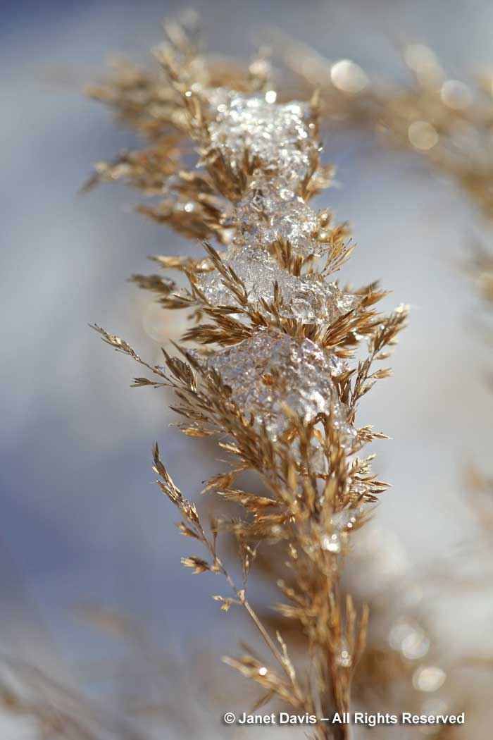 calamagrostis-brachytricha-korean-feather-grass-ice