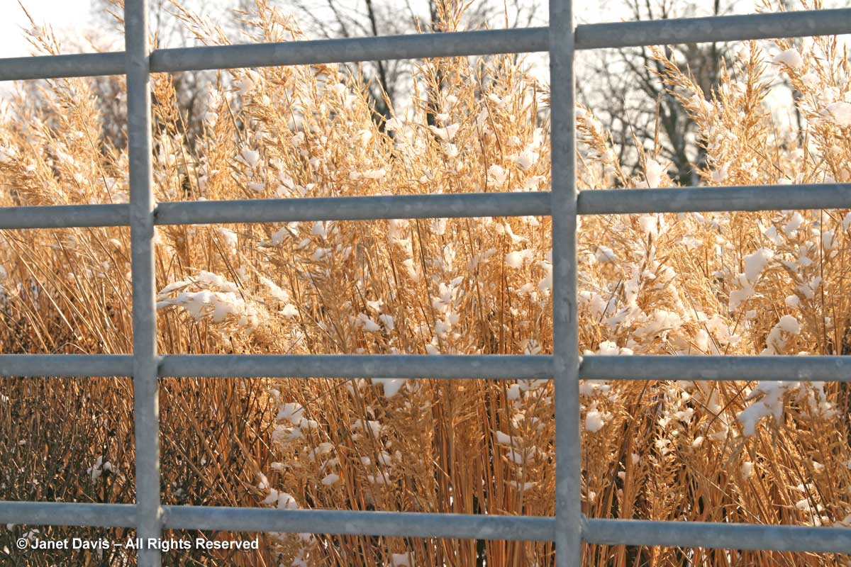 calamagrostis-brachytricha-korean-feather-grass-winter