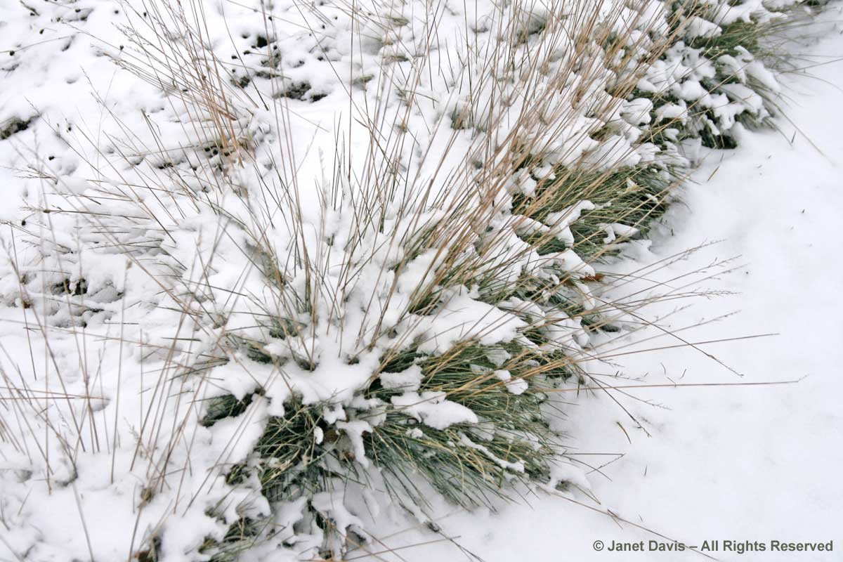 festuca-glauca-blue-glow-winter