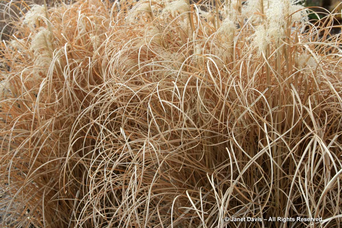 miscanthus-morning-light-winter