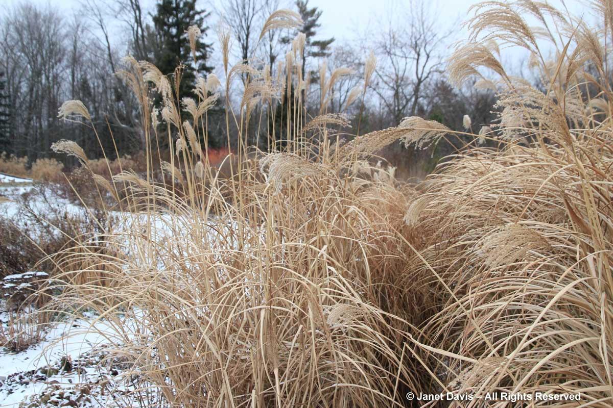miscanthus-sinensis-winter