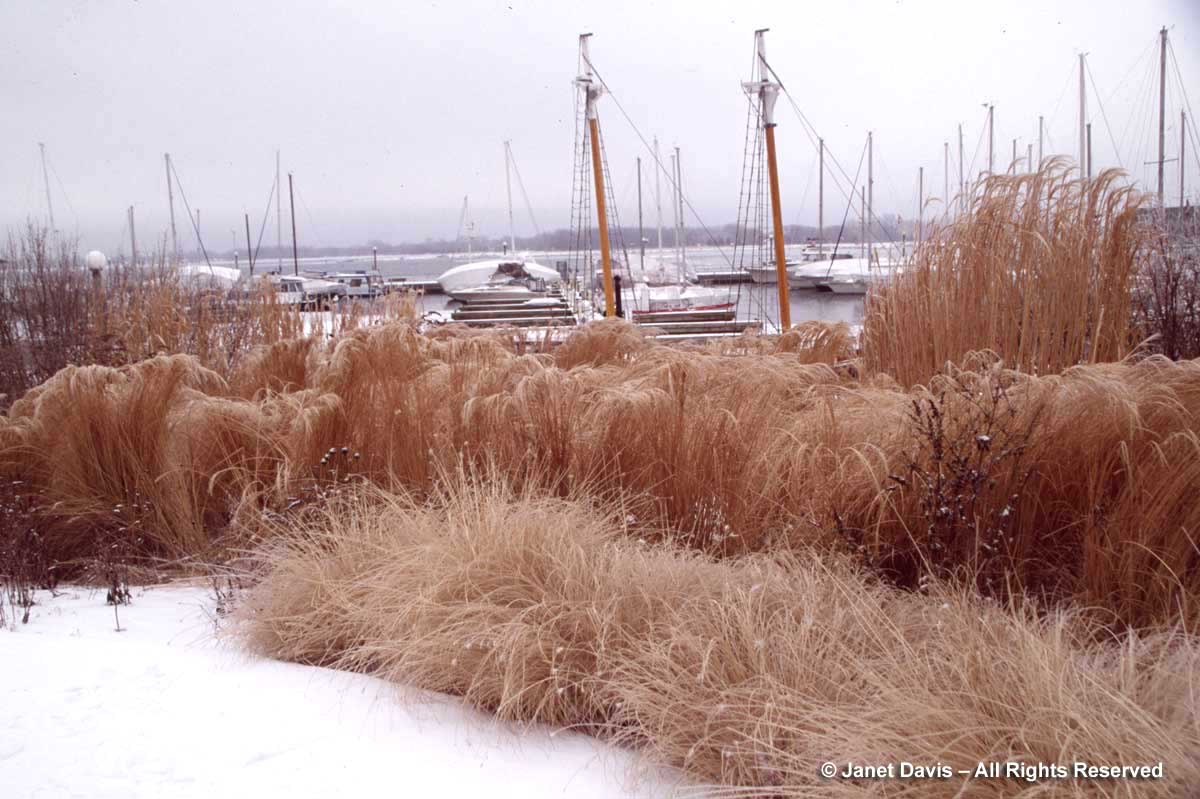 Ornamental Grasses in Winter | Janet Davis Explores Colour