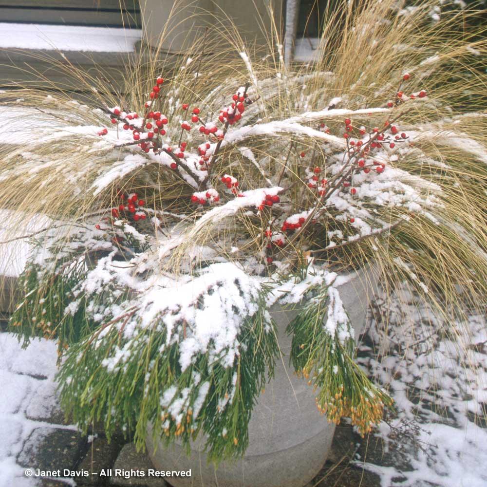 nassella-tenuissima-winter