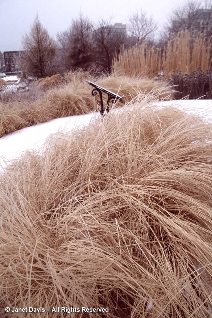 pennisetum-hameln-music-garden-winter