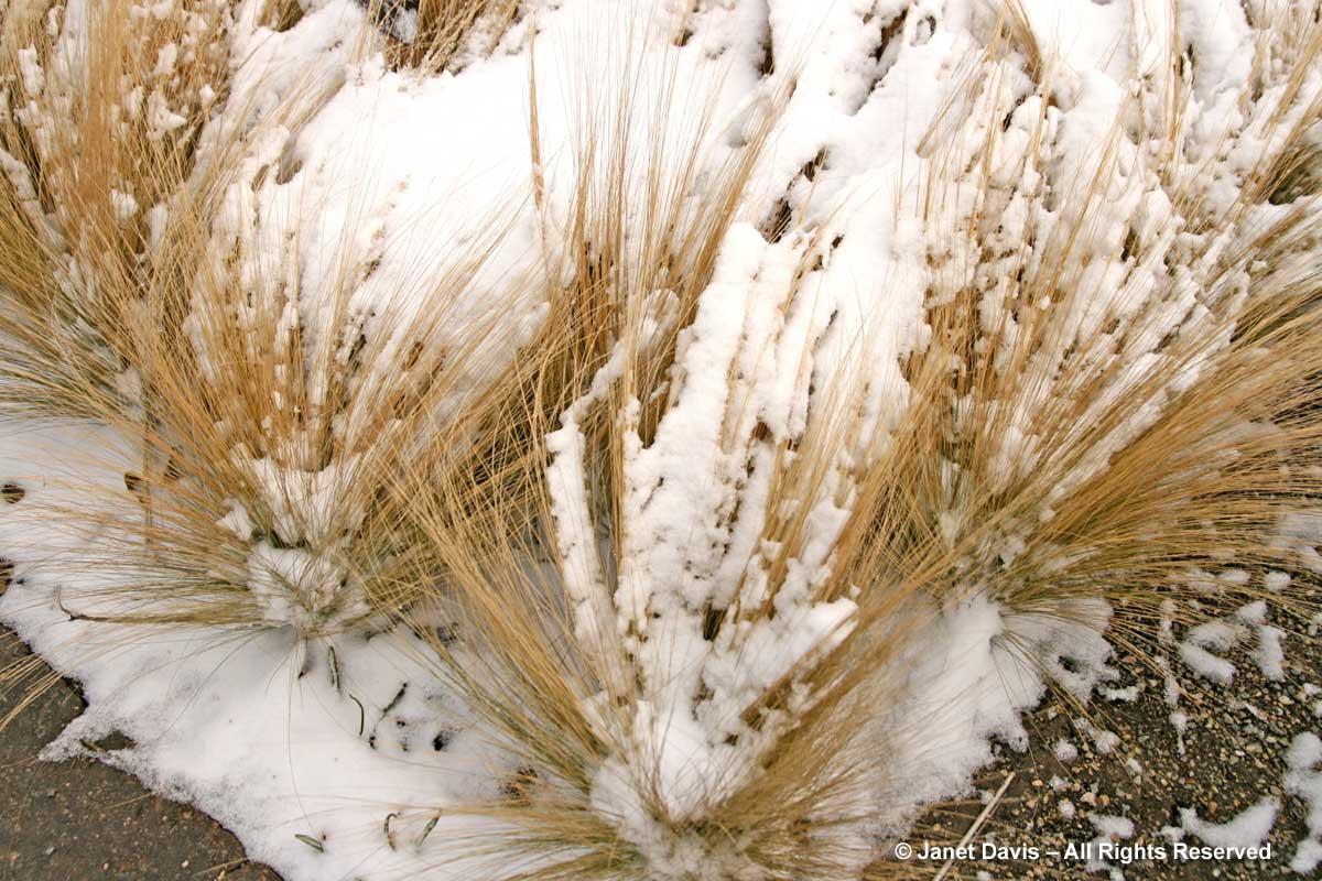sesleria-nitida-snow