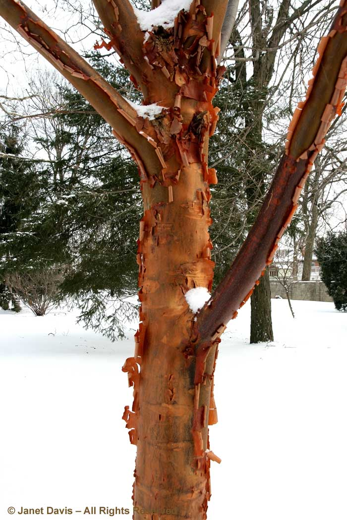 Acer griseum-Paperbark maple-winter-bark