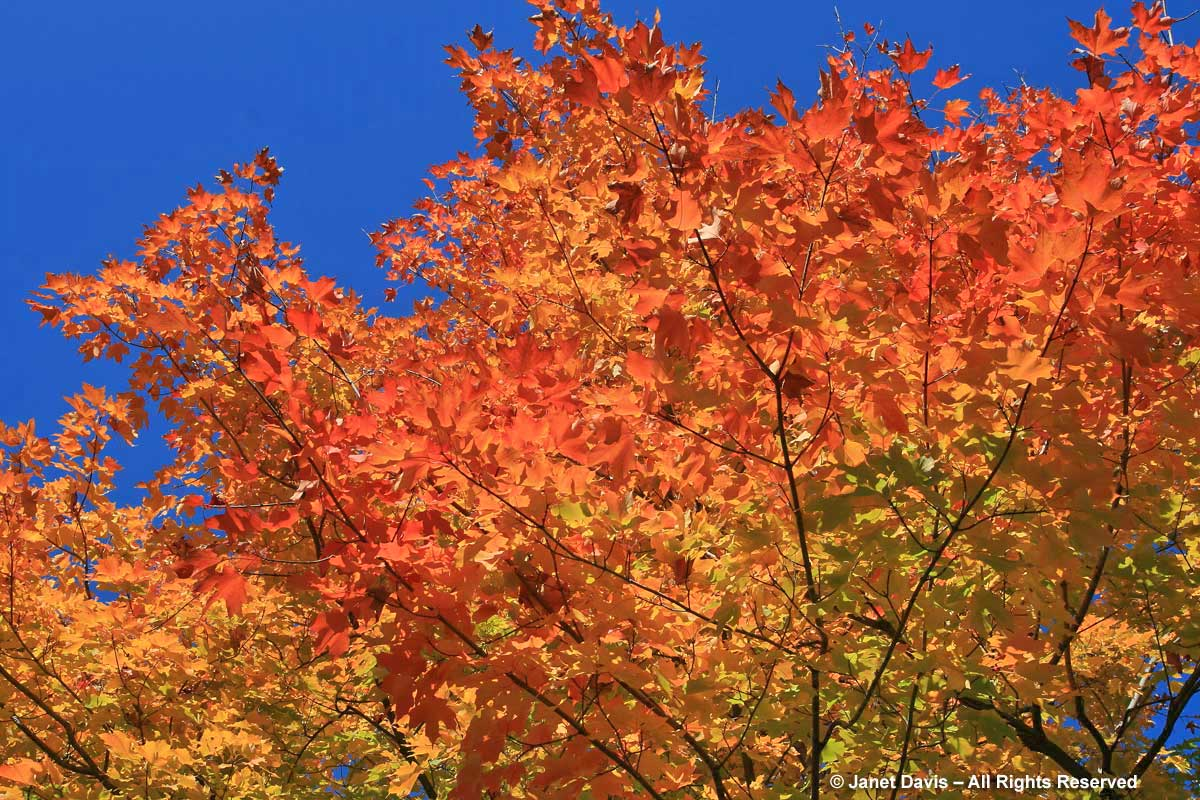 Acer saccharum-Sugar maple-fall colour