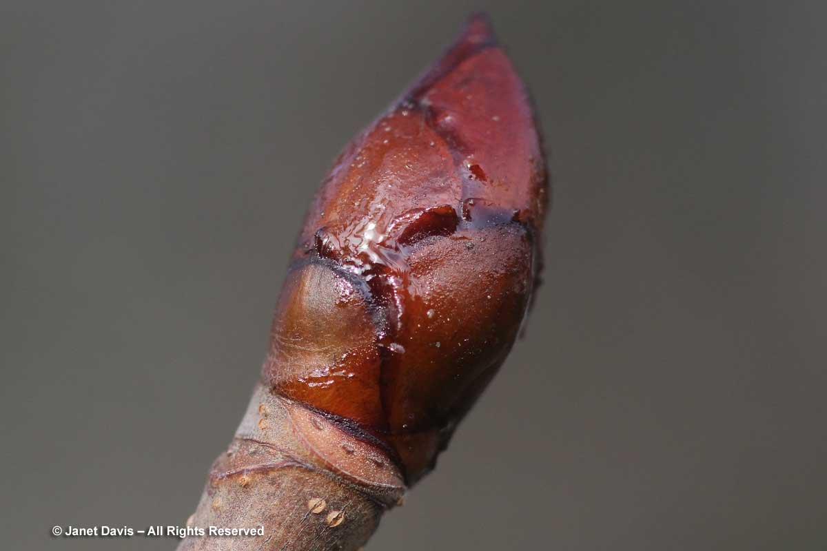 Aesculus-hippocastanum-horse chestnut-winter bud