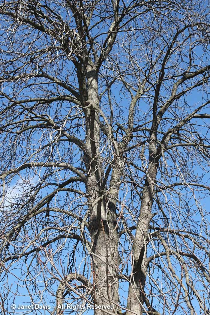 Aesculus hippocatanum-horse chestnut-winter