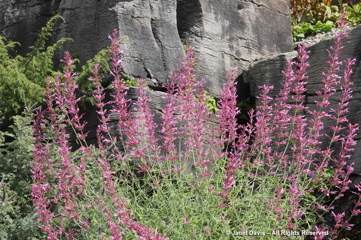 Agastache rupestris-licorice mint hyssop