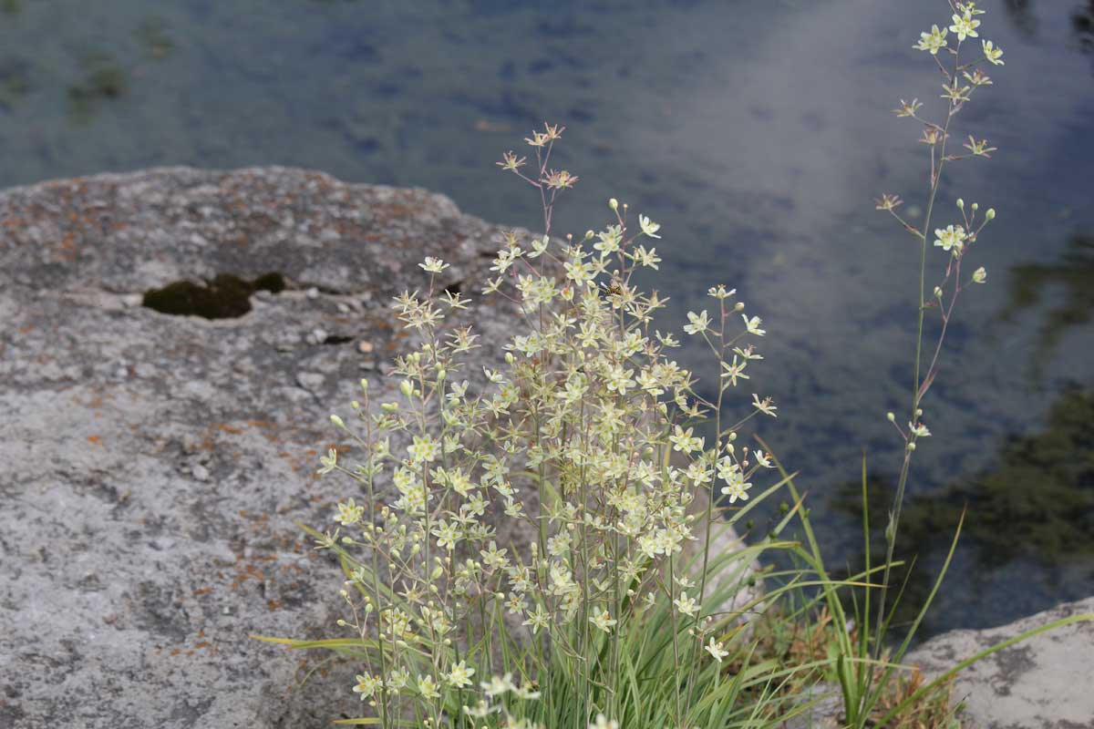 Anticlea elegans-Death camas-Alpinum-Alpine-Montreal Botanical