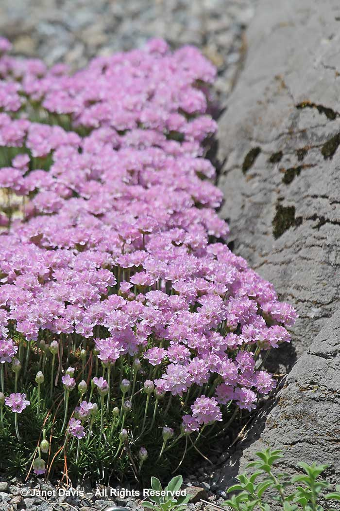 Armeria juniperifolia-juniper leaved thrift