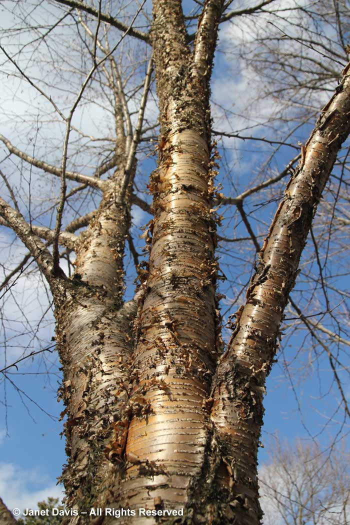 Betula alleghaniensis-yellow birch-trunk-bark-winter