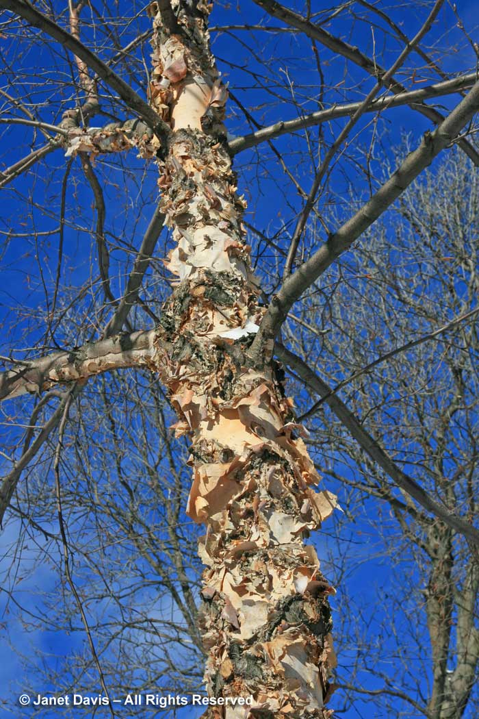 Betula ermanii-Erman's birch-bark-trunk-winter