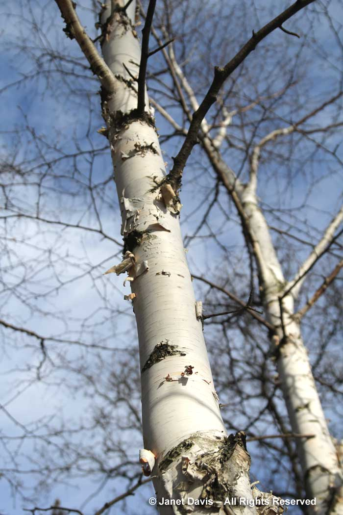 Betula jacquemontii-Himalayan birch-winter bark