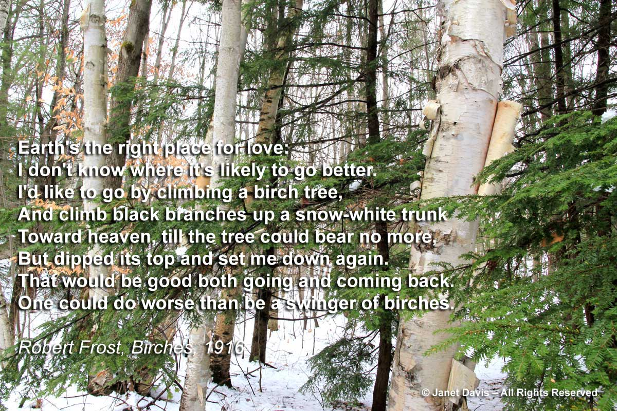 Betula-papyrifera-birches-winter-Robert Frost
