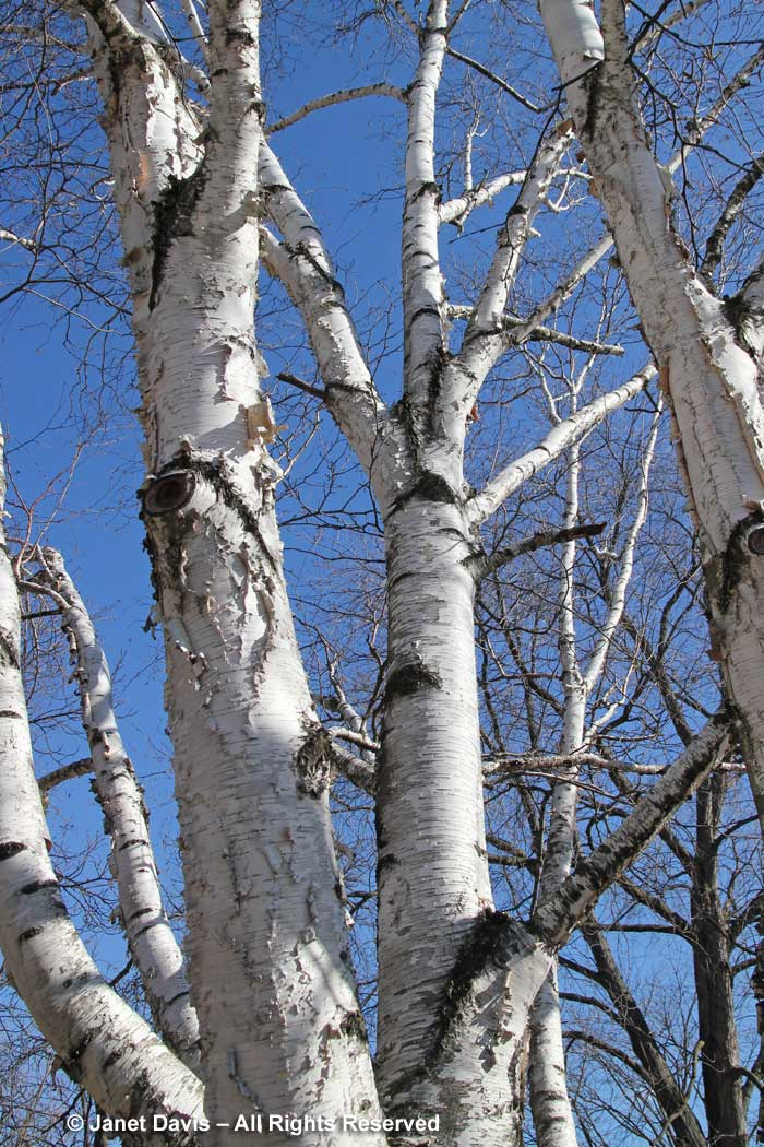 Betula papyrifera-paper birch-winter-bark-trunk