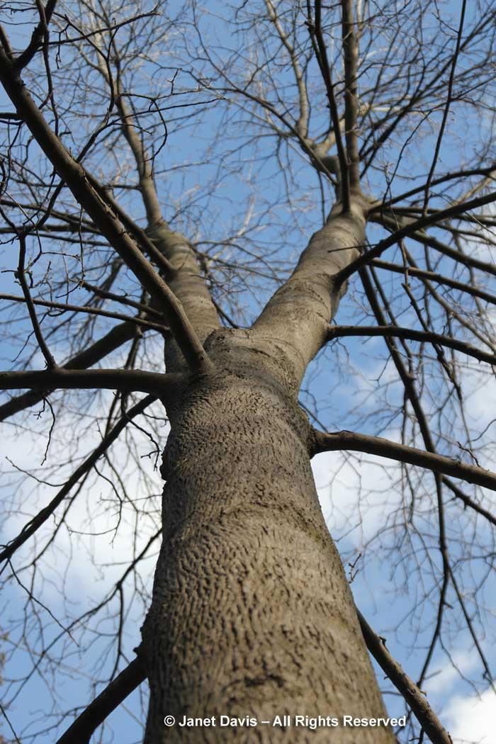 Carya cordiformis-bitternut hickory-winter-bark