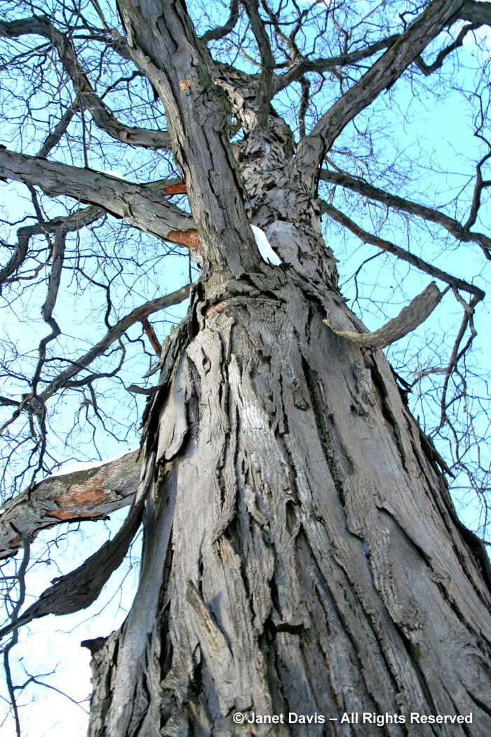 Carya ovata-shagbark hickory-winter bark