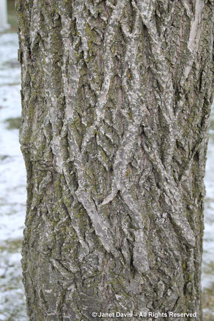 Castanea dentata-American chestnut-winter bark