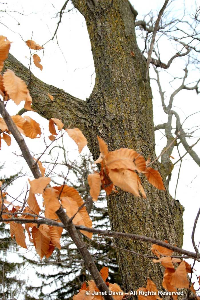 Castanea mollissima-Chinese chetnut-winter-bark