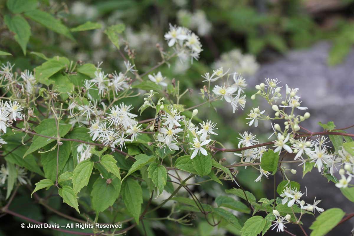 Clematis virginiana-Virgins Bower-Alpinum-Alpine-Montreal Botanical