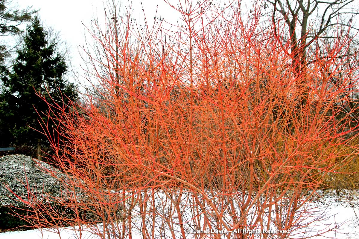 Cornus sanguinea-'Winter Beauty'-dogwood