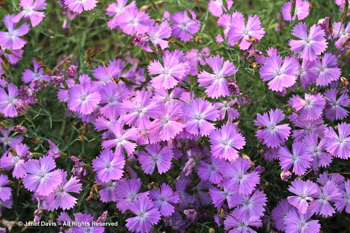 Dianthus nardiformis-Alpinum-Alpine-Montreal Botanical