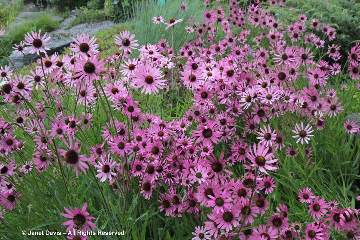 Echinacea tennesseensis-Alpinum-Alpine-Montreal Botanical Garden