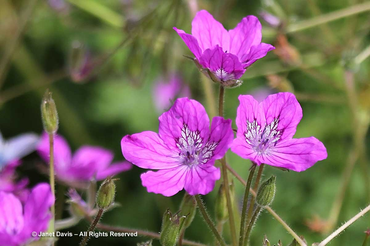 Erodium manescavii-Manescau's hereons bill