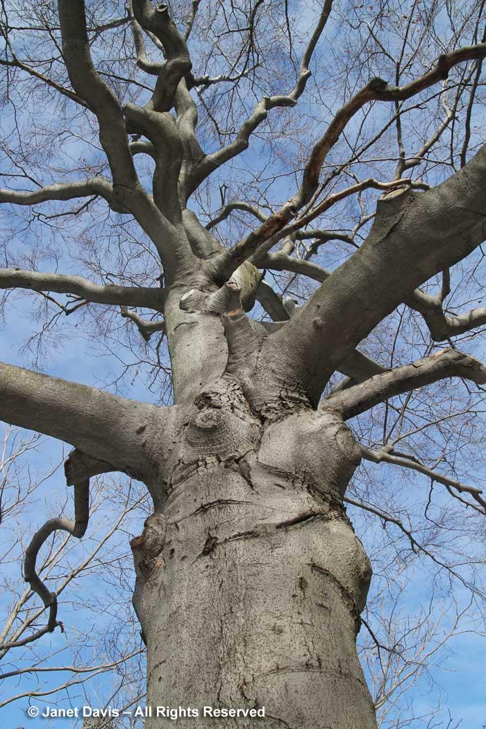 Fagus grandifolia-American beech-winter-bark