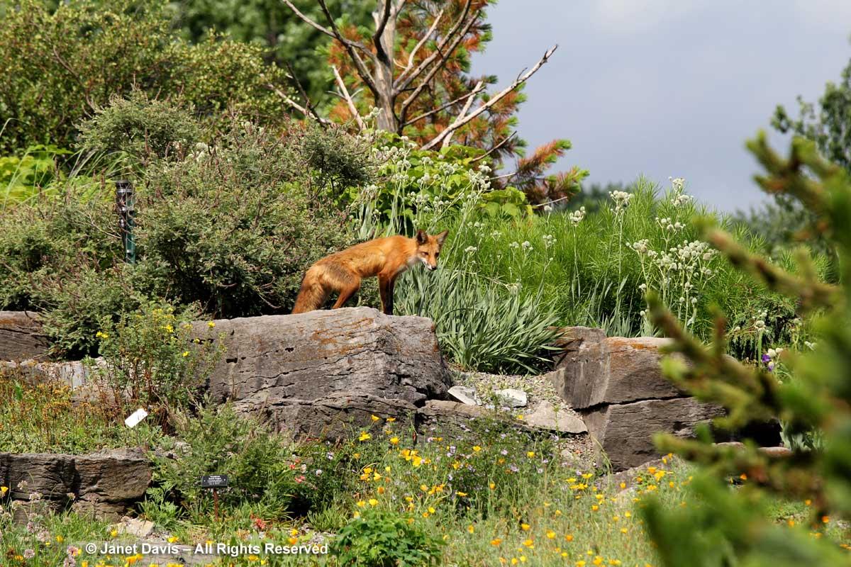 Fox-Alpinum-Alpine-Montreal Botanical Garden