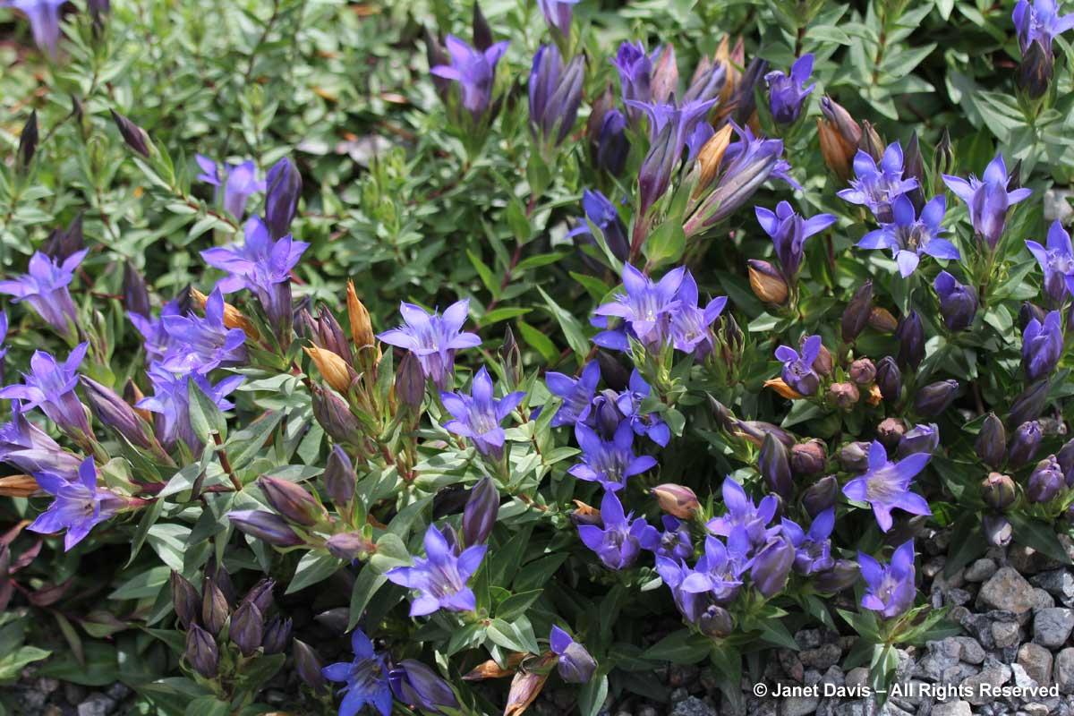 Gentiana septemfida ssp. grossheimii