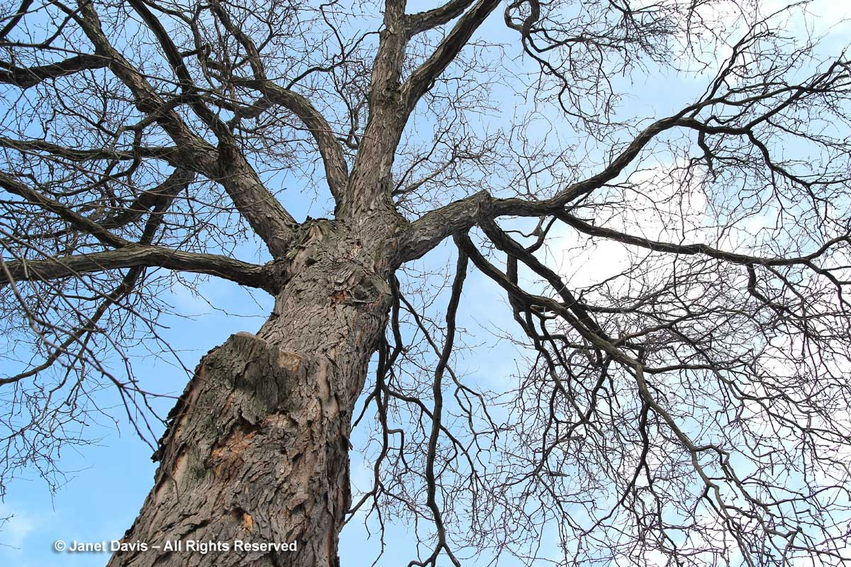 Gleditsia triacanthos-var. inermis-thornless honey locust-winter