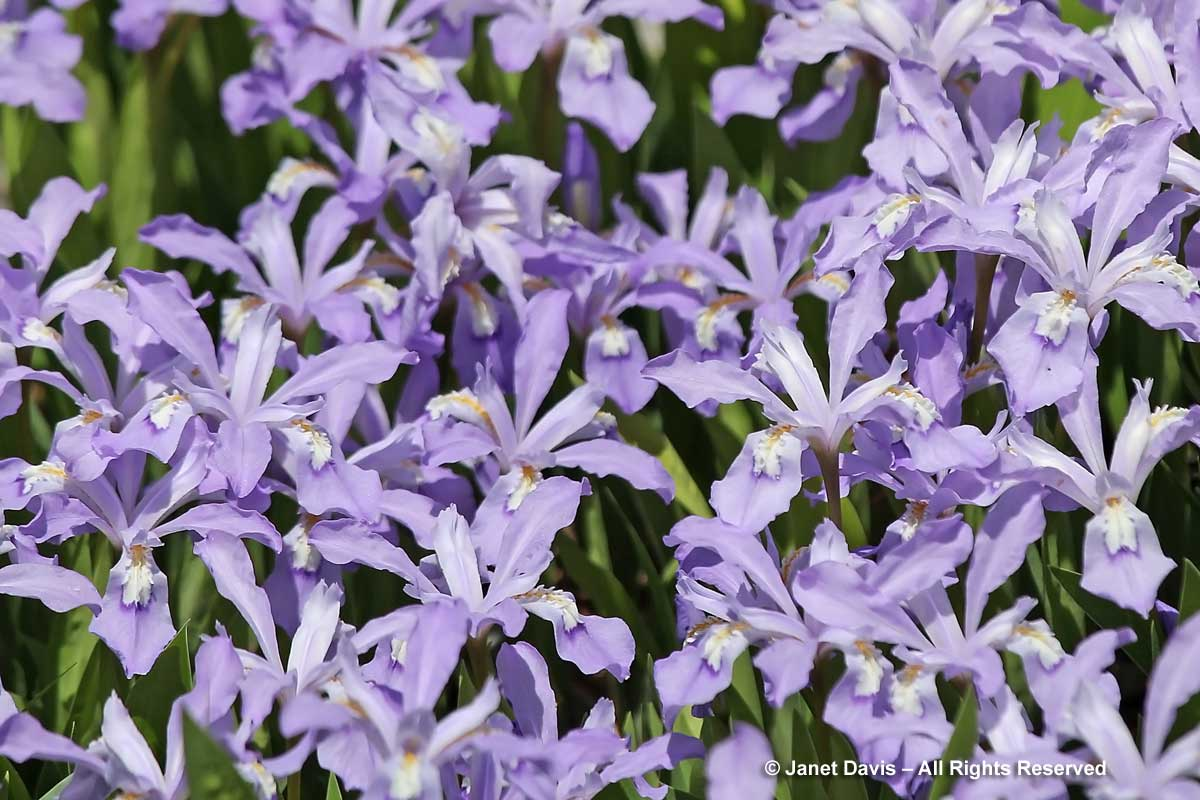 Iris criistata-Crested iris