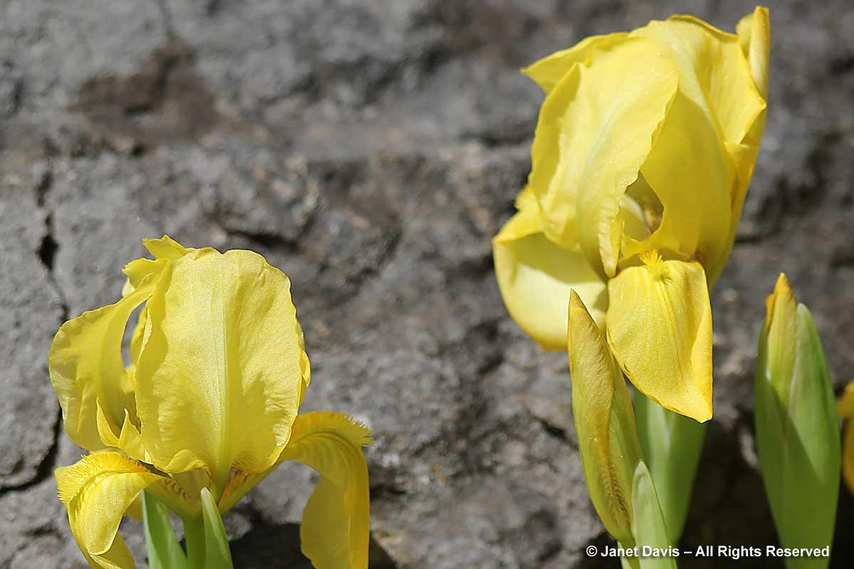 Iris lutescens-Crimean iris