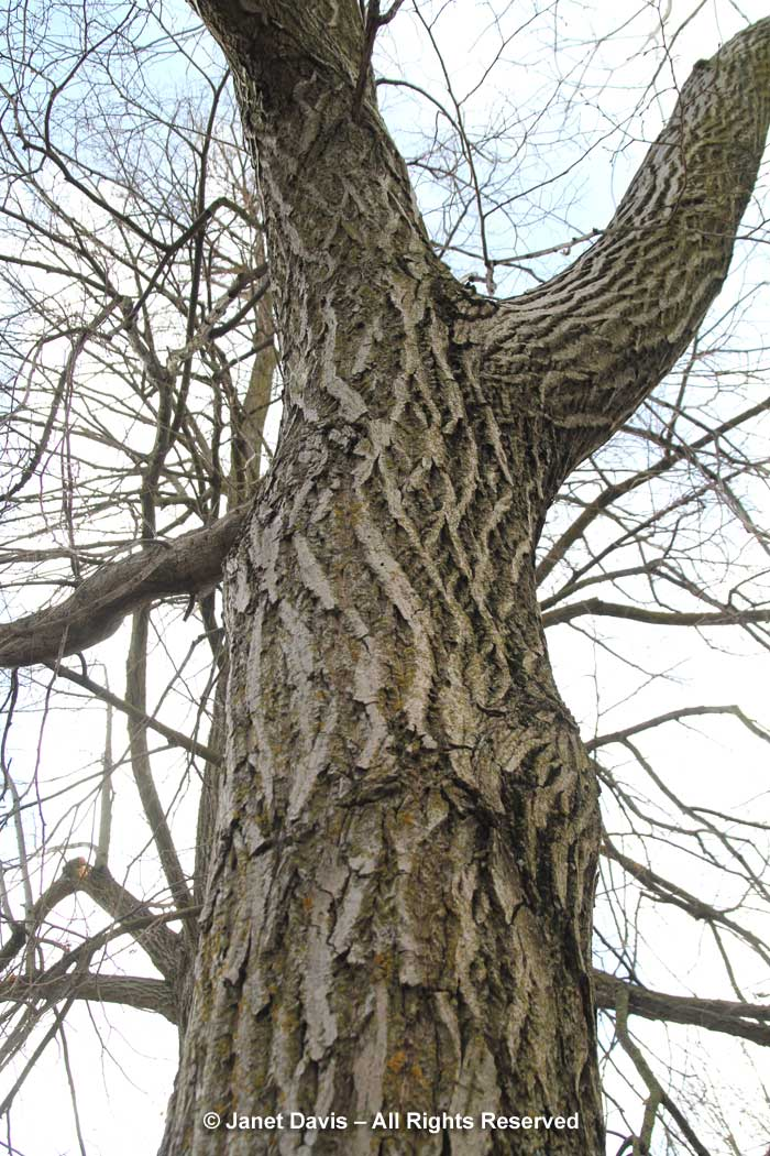 Juglans cinerea-Butternut-bark-trunk-winter