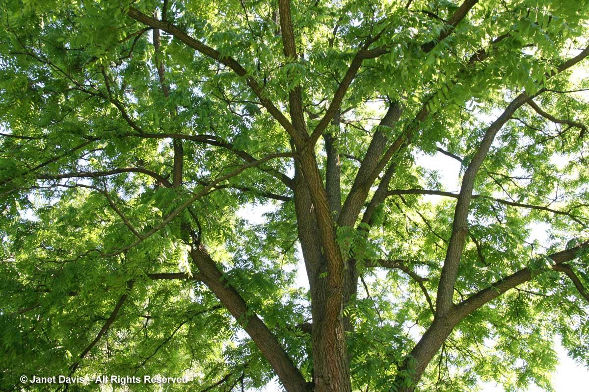 Juglans nigra-black walnut-summer canopy