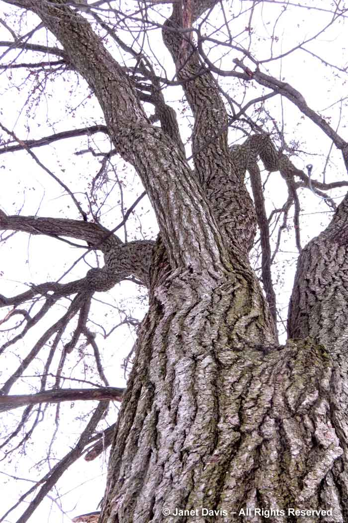 Liquidambar styraciflua-Sweetgum-Winter-Bark-Trunk