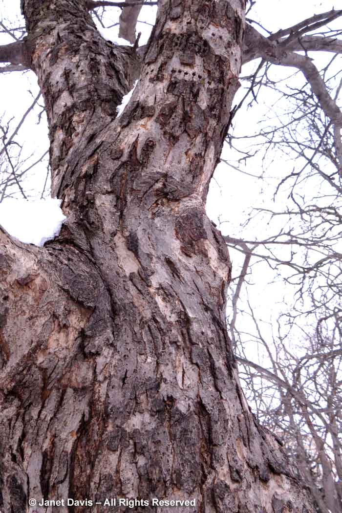 Malus 'Dolgo'-crab apple-winter-bark-trunk